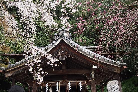 大豊神社の桜1