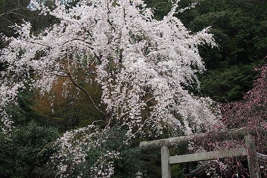 大豊神社の桜2