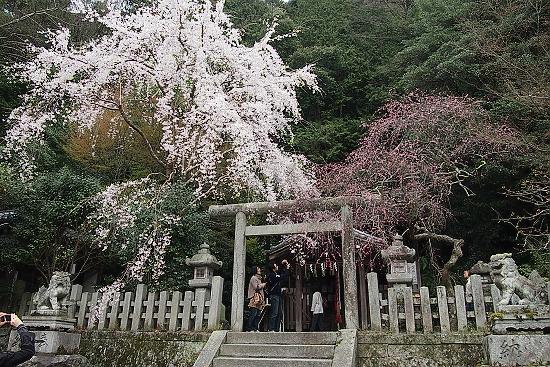 大豊神社の桜5