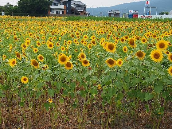 安芸市 ひまわり畑