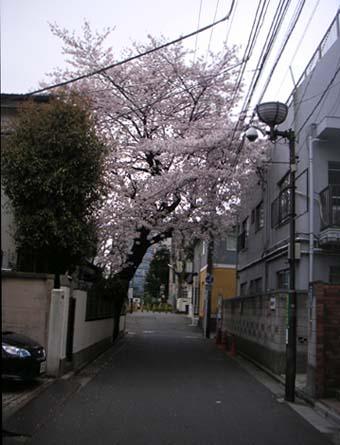 100405sakura1.jpg