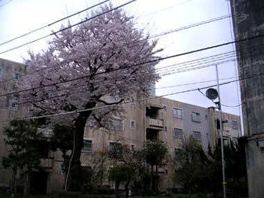 100405sakura2.jpg