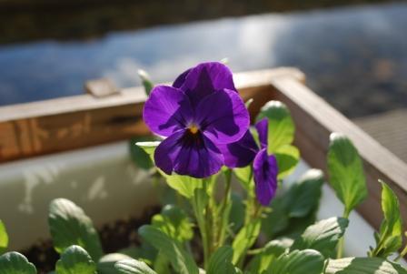 ビオラ 紫