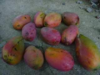 庭のマンゴー