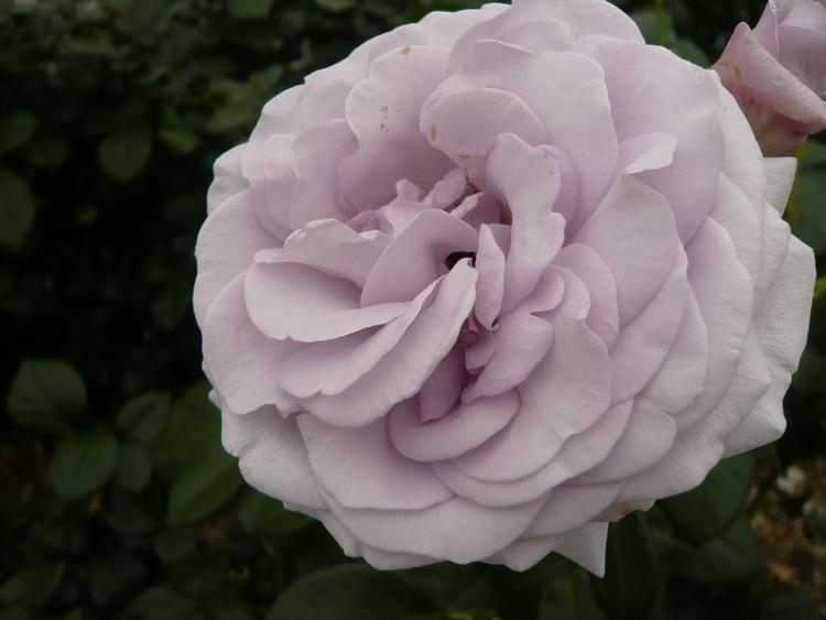 薔薇23.6.12