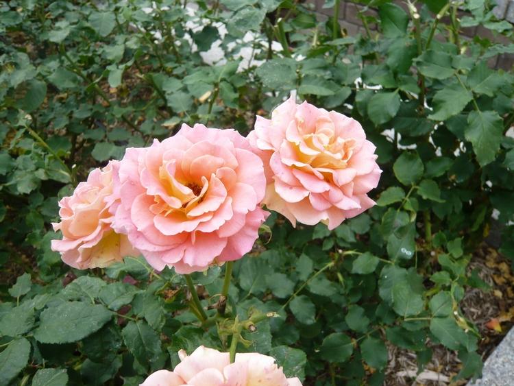 薔薇23.6.14