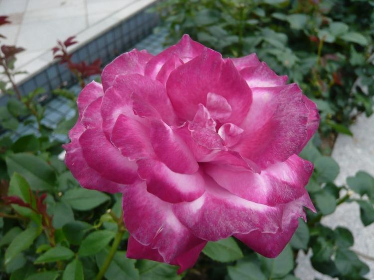 薔薇23.6.15