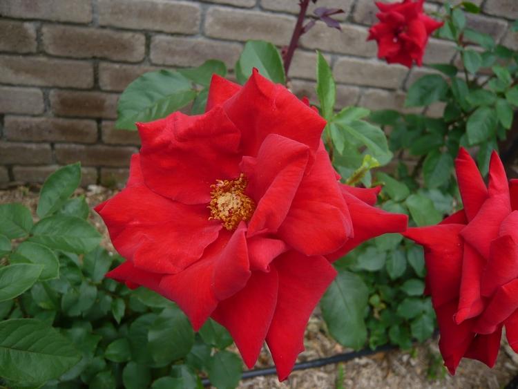 薔薇23.6.17