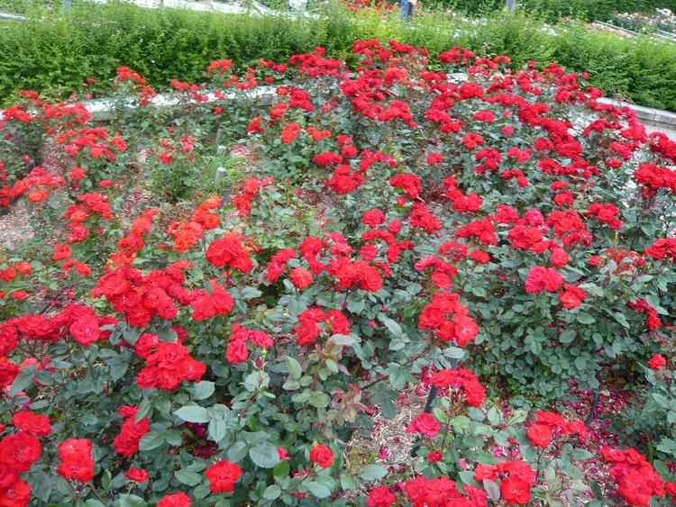 赤い薔薇一面