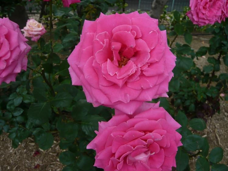 薔薇23.6.20