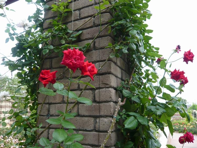 しがみ付く薔薇