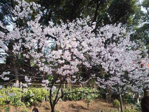 上野の桜(2013.03.17)