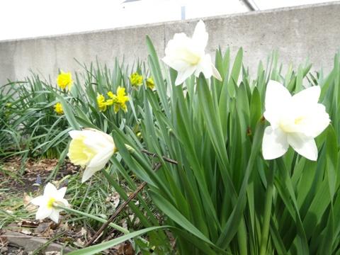 庭園の水仙(2013.05.18)