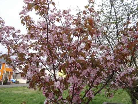 庭園の桜01(2013.05.18)