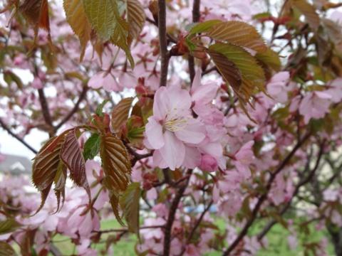 庭園の桜02(2013.05.18)