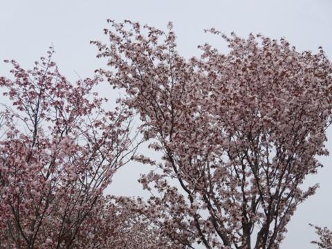 モエレ桜01(2013.05.19)