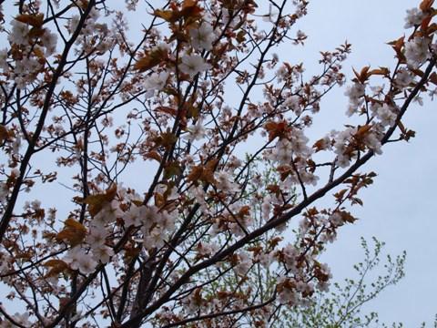 モエレ桜02(2013.05.19)