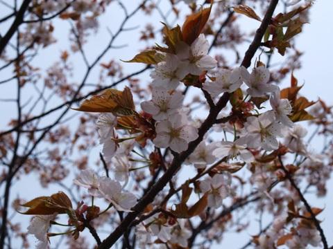 モエレ桜03(2013.05.19)