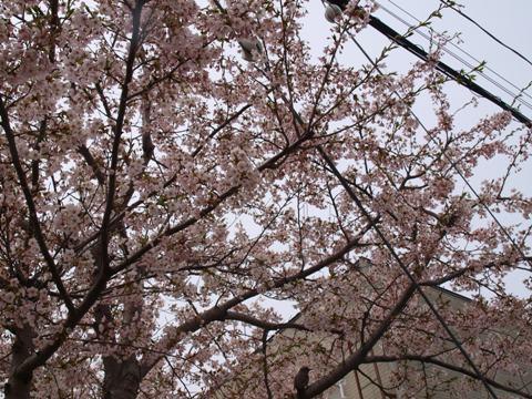 ご近所桜(2013.05.19)