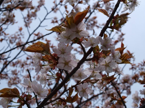桜アップ(2013.05.19)