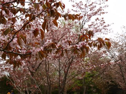桜(2013.05.19)