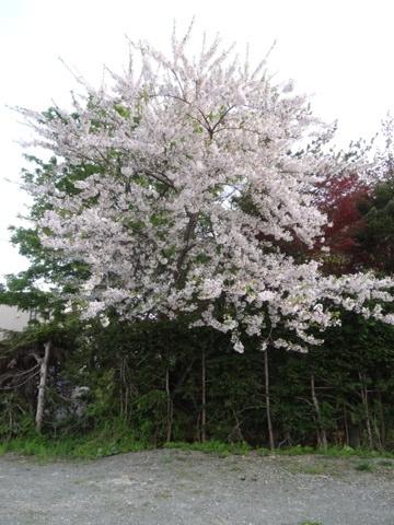 桜(2013.05.26)
