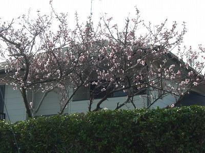 桜の花 開花  20010330  002
