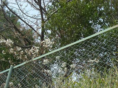 桜の花 開花  20010330  003