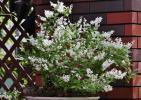 44 クリスマスローズ寄せ植えの姫ウツギ IMG_6683 (950x671)