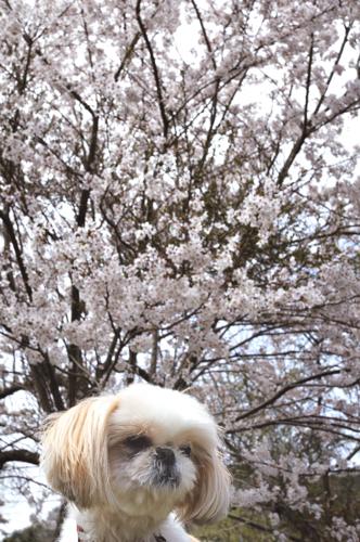 まこと桜2010