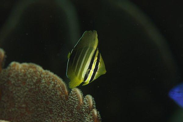 ヒレナガハギ1