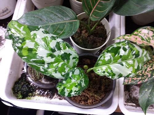 アグラオネマ ピクタム トリカラー アンダマン 東海 岐阜 熱帯魚 水草 観葉植物販売 Grow aquarium