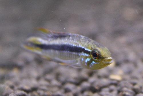 アピストグラマ ポルトベーリョ  A-class アクアファウナ 東海 岐阜 熱帯魚 水草 観葉植物販売 Grow aquarium