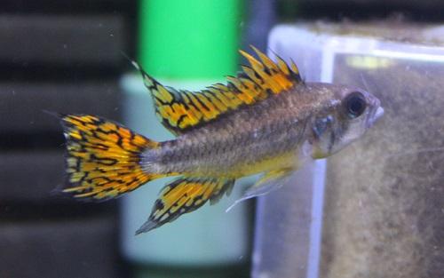アピストグラマ カカトゥオイデス 東海 岐阜 熱帯魚 水草 観葉植物販売 Grow aquarium