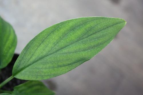 ホマロメナsp.ロンピン 東海 岐阜 熱帯魚 水草 観葉植物販売 Grow aquarium