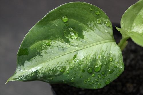 アグラオネマ ピクタム トリカラー 園芸物ライトカラー 東海 岐阜 熱帯魚 水草 観葉植物販売 Grow aquarium
