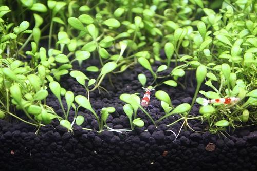 佗び草と楽しむミニセットキャンペーン 東海 岐阜 熱帯魚 水草 観葉植物販売 Grow aquarium
