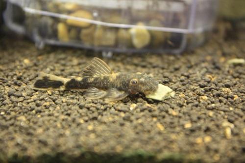 オレンジマーブルブッシー 東海 岐阜 熱帯魚 水草 観葉植物販売 Grow aquarium