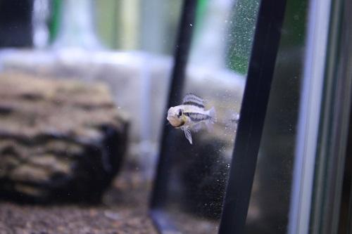 ディプロタエニア ザムラ 女子っす。 東海 岐阜 熱帯魚 水草 観葉植物販売 Grow aquarium