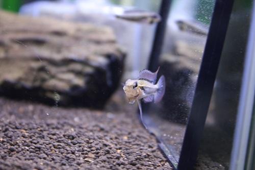 ディプロタエニア ザムラ 東海 岐阜 熱帯魚 水草 観葉植物販売 Grow aquarium
