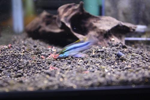 アピストグラマSSSクラス 東海 岐阜 熱帯魚 水草 観葉植物販売 Grow aquarium