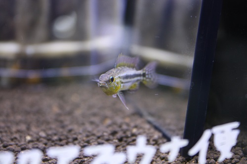 ビタエニアータ カカオペイラ A-class アクアファウナ 東海 岐阜 熱帯魚 水草 観葉植物販売 Grow aquarium