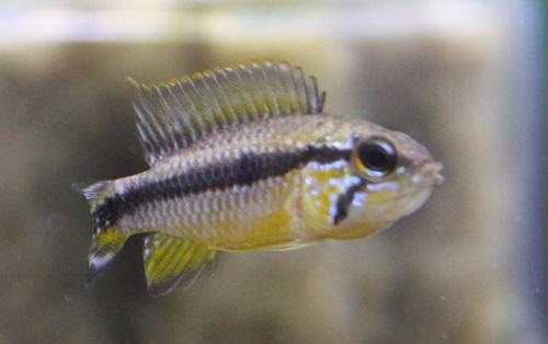 アガシジィ Igミリ A-class アクアファウナ 東海 岐阜 熱帯魚 水草 観葉植物販売 Grow aquarium