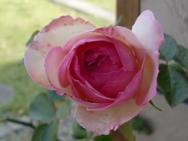 110521あかねちゃんのバラ