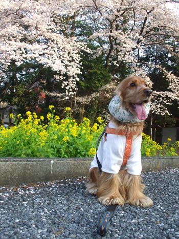 菜の花とさくらで春満喫