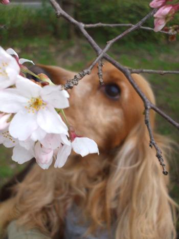 春のかおりなの