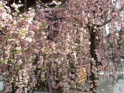 お寺の枝垂桜