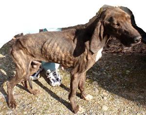 2009-12-0030_0112月14日捕獲12月17日まで日光市小林犬プロットハウンド♂大茶