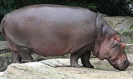 260px-Nijlpaard.jpg