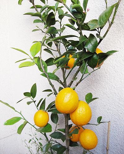 lemon10.jpg